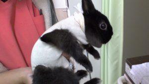 ウサギの避妊手術